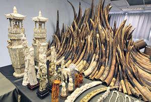 去年的施政報告中提出逐步停止象牙貿易的建議,包括盡快啓動立法程序,禁止大象狩獵品進出口,並研究其他措施,如進一步禁止象牙的進出口和逐步淘汰本地象牙貿易等。(資料圖片)