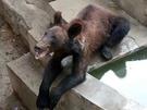 棕熊顯得非常瘦。