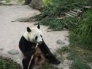 目前都江堰基地有大約36隻熊貓,從不到1歲,到26歲。