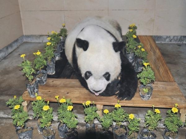 熊貓人瑞巴斯離世後的遺容。