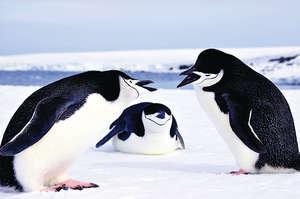 南極兩隻正在「吵架」的帽帶企鵝。(新華社圖片)