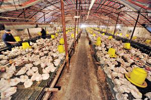 江蘇省一名6旬婦前日確診全球首宗H7N4禽流感,因肺炎入院治療22日後出院。圖為內地一個雞場。(新華社資料圖片)