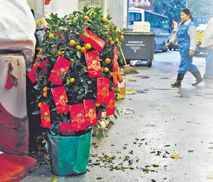 新春過後,不少年桔淪為垃圾,但其實它們再植後可繼續開花結果,甚至變身飲料及果餞。(林良明攝)
